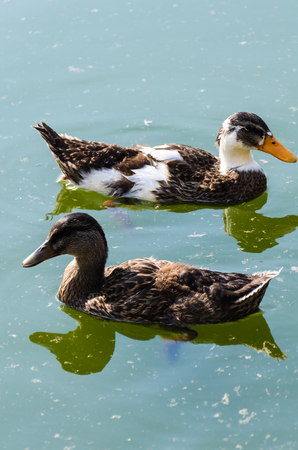 color image mallard duck: Ohrid Lake 2013 Skopje   2 ducks are swimming in the water while the reflections are a perfect copy of the ducks Stock Photo