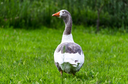 a beautiful white-grey Duck is walking on the green grass  photo