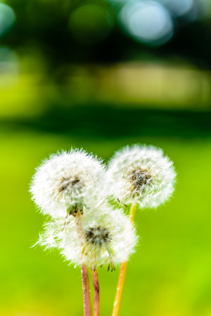 3 Beautiful Blowballs close-up with a green  photo