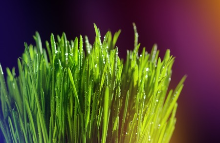 Macro view of green grass. Large drops of dew on fresh green grass. Multi-colored illumination of the frame Stock Photo