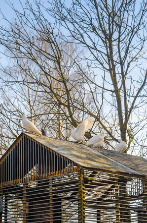 latticed: White pigeons on the roof of their dovecote. An old latticed dovecote from steel rods in the spring park at sunset. Stock Photo