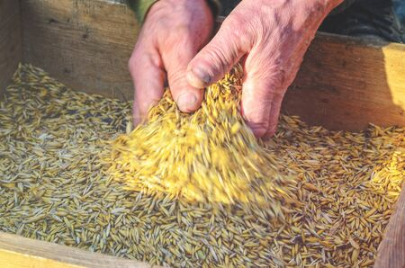 beardless: Hands of the worker who sifts the grain of oats through a sieve. Hands of an elderly person. Hands in wheat