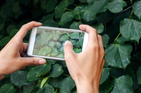 Female hands hold a smartphone for photography on a background of dense thickets of bush. Taking the texture of nature for memory while traveling. Taking a picture with a smart phone concept