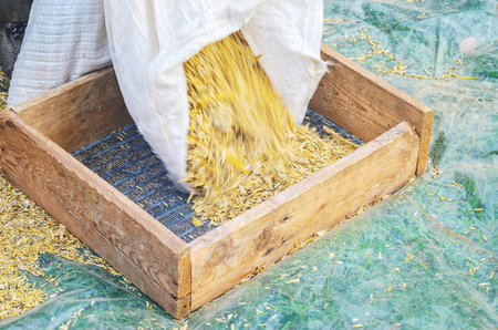 beardless: Pour the grain from a white sack into a sieve. Step of sieving grain manually