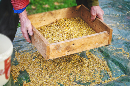 beardless: The farmer sifts the grain manually. Hands of the worker who sifts the grain of oats through a sieve. Hands of an elderly person. Disappearing profession concept Stock Photo