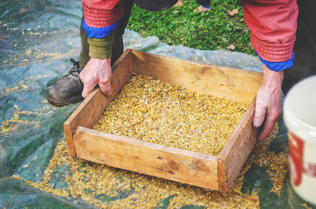 durum: The farmer sifts the grain manually. Hands of the worker who sifts the grain of oats through a sieve. Hands of an elderly person. Disappearing profession concept Stock Photo