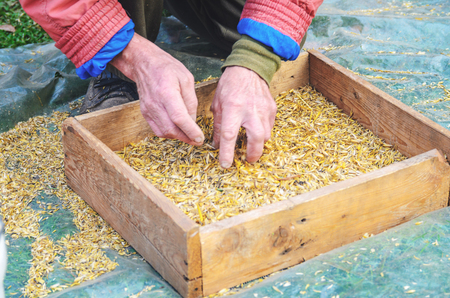 beardless: Hands of the worker who sifts the grain of oats through a sieve. Hands of an elderly person. Hands in wheat. Sifting grain concept