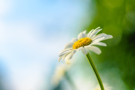 cultivate: Flowering. Chamomile. Blooming chamomile, Chamomile flowers on a meadow in summer, Selective focus