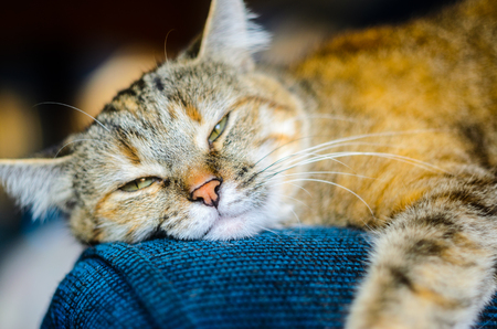 chairs: The cat fell apart on the arm of the blue armchair. Cat resting on the couch and getting ready to sleep