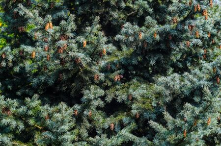 christmas backdrop: Lush Spruce Branches with Cones Background. Texture of a Natural Plant