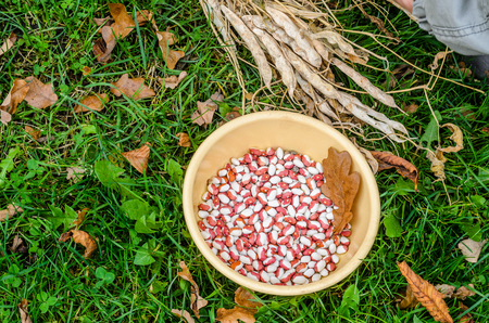 Yellow Plate with Multi Colored Beans on Green Grass, Top View. Background with Red White Dried Kidney Beans. Harvesting Concept