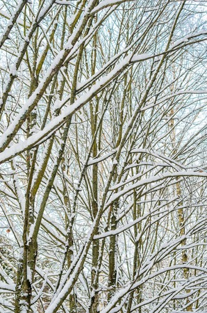 Forest winter background. Branches and trunks of trees covered with snow in the winter forest Reklamní fotografie