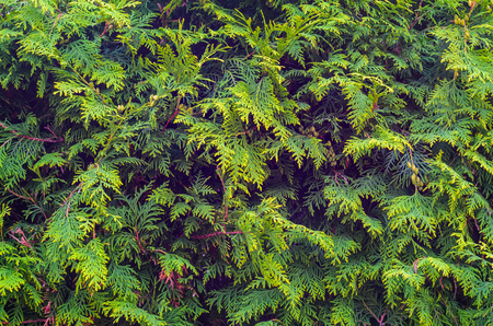 Thuja Coniferous Plant Texture. Green Floral Blank Background Zdjęcie Seryjne