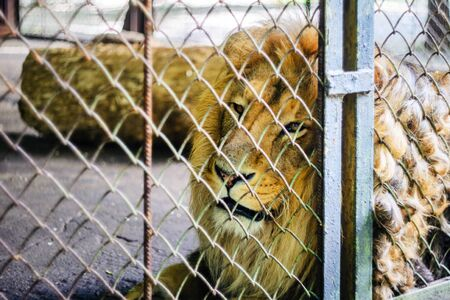 The Lion in Captivity in a Zoo Behind Bars. Leisure and Weekend Day at the Zoo. Walk through the National Park Фото со стока