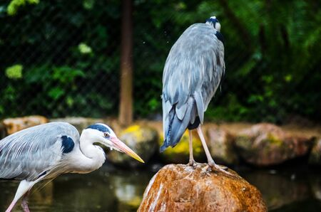 Two Grey Heron Ardea Cinerea in the Zoo. Talls and Long-Legged Predatory Birds. Blur Background