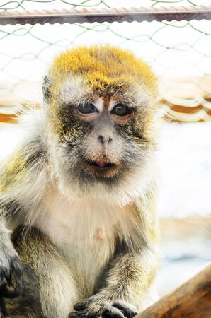 Close Up of a Monkey in a Cage of a Zoo. Crab-eating Macaque, the Long- Tailed Macaque Banco de Imagens