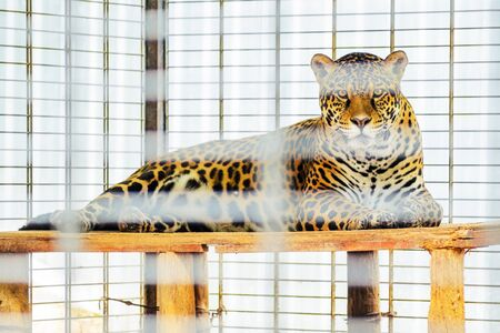Portrait of Jaguar Close Up. Panthera Onca. Big Cat Lies in the Cage of the Zoo