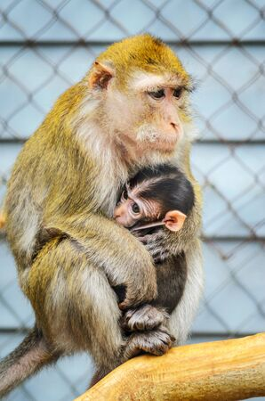 A Portrait of Mother Monkey Feeding her Baby. Monkey with Cub on tree. Monkey mother love Banco de Imagens
