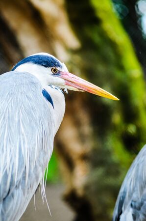 A Grey Heron Ardea Cinerea in the Wild. Tall and Long-Legged Predatory Bird. Blur background