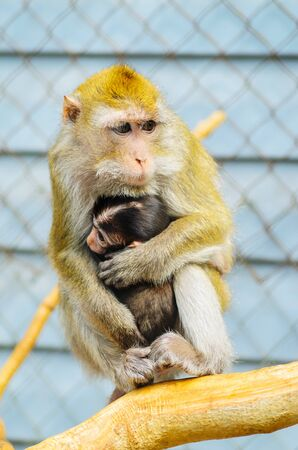 Close Up of a Cute Baby Monkey, Hiding Near the Mothers Breast and Looking Around. Animal Parenting Concept. Banco de Imagens