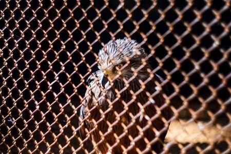 Hawk in the Cage of the Zoo, Bird of Prey. Bay-Winged Hawk, Dusky Hawk