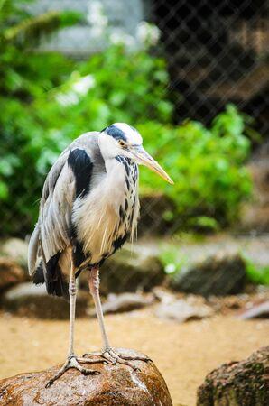A Grey Heron Ardea Cinerea in the Zoo. Tall and Long-Legged Predatory Bird. Blur background
