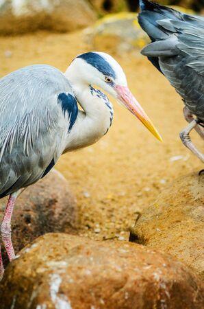 A Grey Heron Ardea Cinerea in the Wild. Tall and Long-Legged Predatory Bird. Blur Background Banco de Imagens