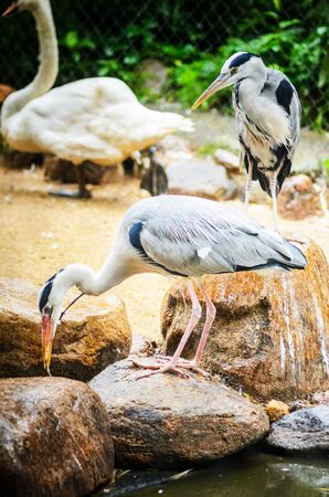 Two Grey Heron Ardea Cinerea in the Zoo. Talls and Long-Legged Predatory Birds. Blur background Banco de Imagens