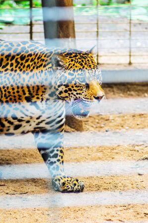 Portrait of Jaguar Close Up. Panthera Onca, Big Cat in a Zoo Cage