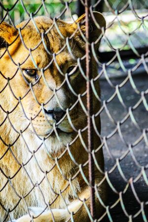 A Sad Lioness in the Cage of the Zoo. Leisure and Weekend Day at the Zoo. Walk through the National Park