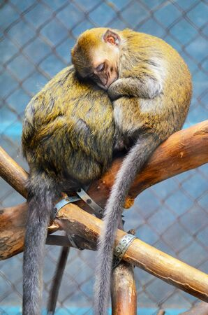 Close Up of a Sleeping Baby Monkey on a Tree, Hiding near the mothers breast. Mothers love concept. Banco de Imagens