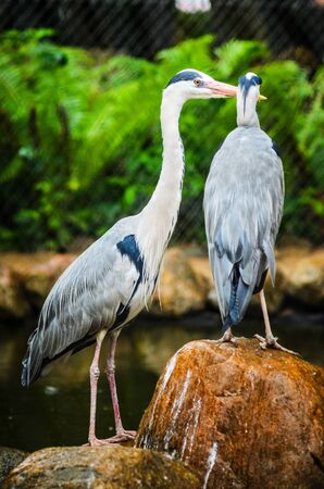 Two Grey Heron Ardea Cinerea in the Zoo. Talls and Long-Legged Predatory Birds. Blur background Imagens
