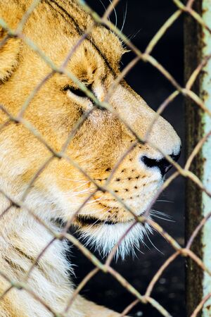 The Lion in Captivity in a zoo behind bars. Leisure and Weekend Day at the Zoo. Walk through the National Park