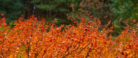 Nature background in autumn forest. Red bush in green fir forest 版權商用圖片 - 132621026