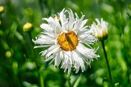 Beautiful daisy flower. Chamomile. Blooming flower. Stok Fotoğraf