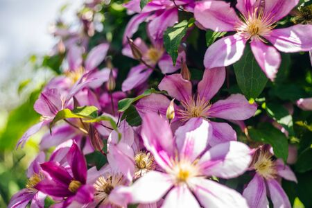 Pink clematis blooming flowers background