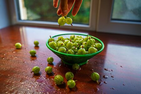 Berries in hand. Heap of green wet washed gooseberry fruit in a colander on table. A scattering of large juicy berries on the table Banque d'images