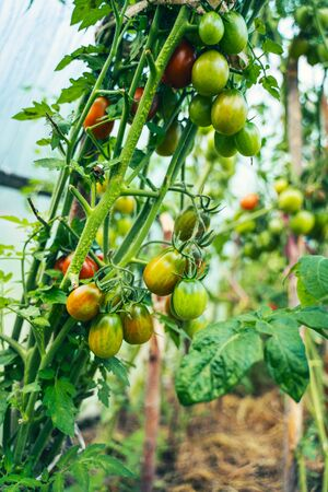 Tomatoes growing in a greenhouse. Vegetable growing concept Stock Photo