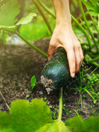 Harvesting zucchini in a greenhouse with hands
