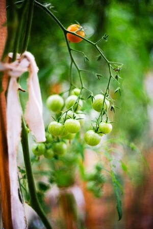 Tomatoes growing in a greenhouse. Vegetable growing concept 版權商用圖片 - 139112880