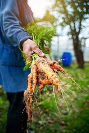 Fresh organic carrots in farmers hands. Harvesting carrots. Healthy food.