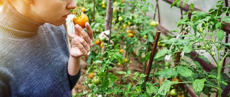 A young woman in a gray sweater collects tomatoes and smells the fruits in a greenhouse. Harvesting vegetables concept