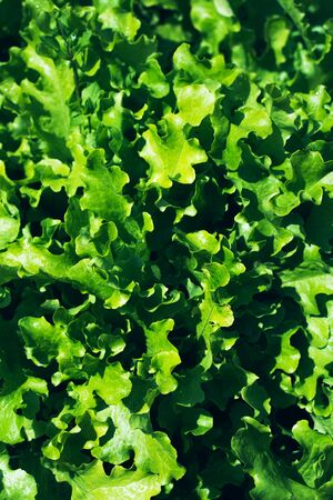 Fresh lettuce leaves background, close up.