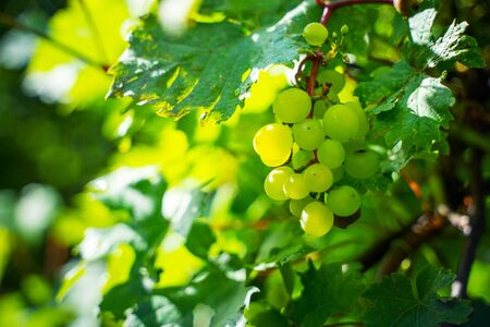 Green grapes on a branch. Vineyard background