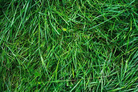 Green grass texture . Nature background