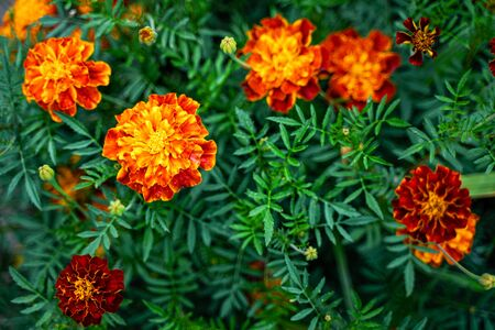 Tagetes patula background. French marigold bloom flowers 版權商用圖片 - 139113020