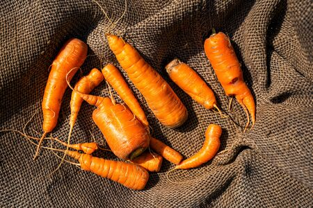 Freshly harvested, washed carrots lies on a burlap. View from above 版權商用圖片