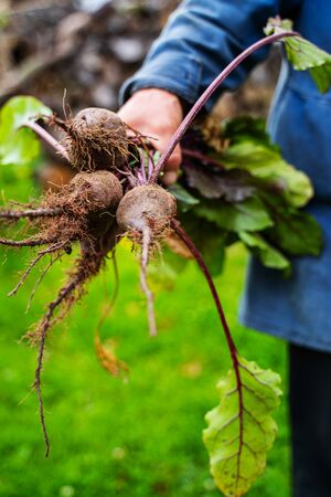 Fresh organic beetroot in farmers hands. Harvesting carrots. Healthy food. 版權商用圖片 - 139113142