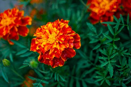 Tagetes patula background. French marigold bloom flowers 版權商用圖片