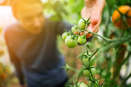 Woman caring for growing tomato fruits in a greenhouse